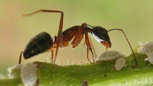 myra och bladlöss
