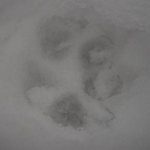 Kan detta vara lodjursspår, undrar Lena Puranen. Vi bor på landet (Borgå). Spåren är drygt 6 cm långa, runda avtryck. Avståndet mellan spåren ca 30 cm.