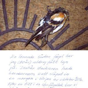 Solveig från Åbo har postat denna bild. Är det en buskskvätta?