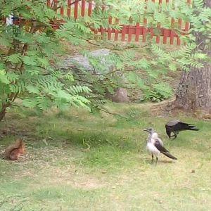 Vad är det för en rufsig och tufsig kråkfågel som dyker upp vid Zikitis fågelbord i Karleby med jämna mellanrum? Kan det vara fråga om en kråka som ser så märklig ut?