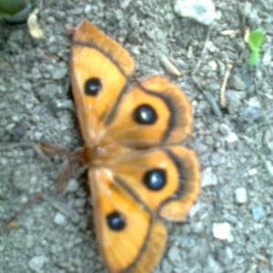 Denna fjäril påträffades 22.5 i Borgå i Ernestas i en trädgård. Vilken fjäril samt är den vanlig, undrar Lasse Ek?