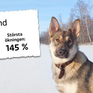 Priset på tandstensputsning för hundar. 2011 medelpris 114 €, 2016 medelpris 211 €.