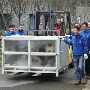 Pandan matka kohti Suomea alkaa kuljetuslaatikossa.