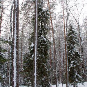 Sanginjoen ulkometsää Oulussa