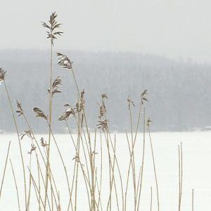 Talvinen maisema Lehijärvelle, etualalla heiniä järven rannassa