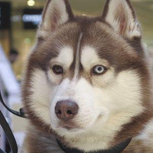 Husky-rotuinen koira kauppakeskuksessa Tampereella.