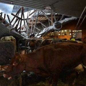 Navetassa olleesta noin sadasta lehmästä vain yksi vasikka menehtyi.