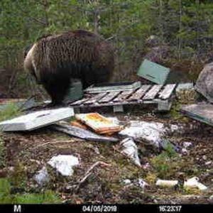 Karhu tallentui orivesiläisen mehiläistarhurin Janne Pajulan riistakameraan.