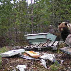 Karhu riistakameran kuvassa hajotetun mehiläispesän vieressä.