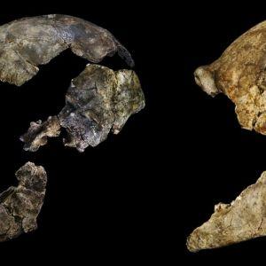 Kaksi sivusta kuvattua osittaista pääkalloa. Toisessa ovat tallella ehjät hampaat.