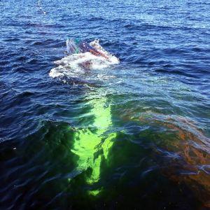Länsi-Suomen merivartioston meripelastajat pelastavat rysään joutunutta kovanonnen ryhävalasta Rauman edustalla Pohjanlahdella 15. toukokuuta