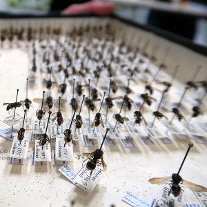 Hyönteislaatikossa esillä neulattuja hyönteisiä