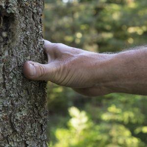 Puun ympärystä mitataan käsipelillä.