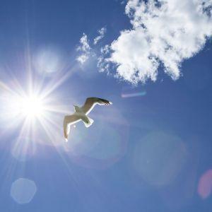 lokki lentää sinisellä taivaalla
