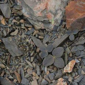 Tummanharmaata kivikkoa, jossa harmaalehtinen kasvi erottuu hyvin heikosti.