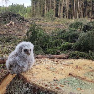 Mediakohun keskelle joutunut pöllönpoikanen on luultavasti turvassa pöntössään.