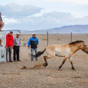 Mongolianvillihevonen Hanna kirmaa vapauteen Mongoliassa.