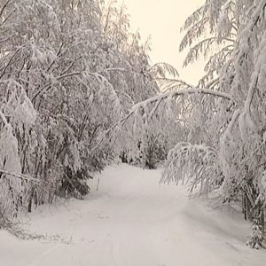 Lumisia puita kaartuu tien päälle.
