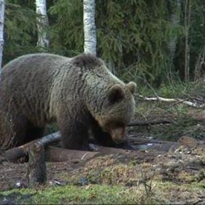 Karhu haaskalla.
