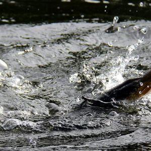 Hauki vedessä tarttuneena virvelin vieheeseen.