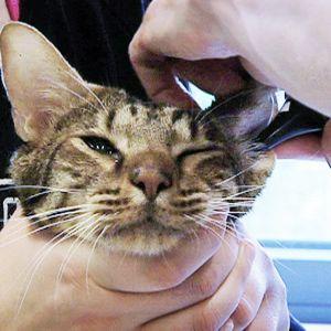 Ocicat-rotuinen kissa eläinlääkärin tutkittavana.