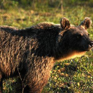 Karhu lähikuvassa Martinselkosen eräkeskuksessa Suomussalmella.