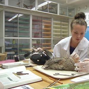 Kuvassa Kannuksen lukion eläinlääketieteen erikoislinjan opiskelijat tutkivat lintuja.