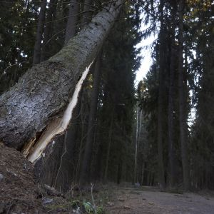 Kaatumaisillaan oleva puu Helsingin keskuspuistossa 13. joulukuuta.