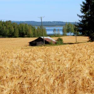 Kontiolahden Paiholan kylällä oleva ohrapelto jatkuu Pielisen rannan tuntumaan.