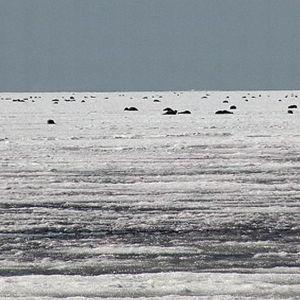 Itämerennorppia makoilee Perämeren jäällä.