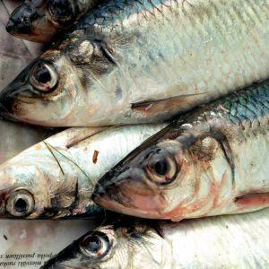 Silakka oli vuonna 1975 Suomen pyydetyin kala.