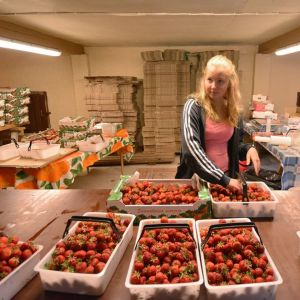 Nuori nainen lajittelee myytäväksi tulevia mansikoita.