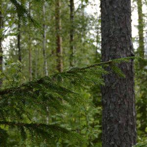Yhteismetsä on helppo tapa omistaa metsää.
