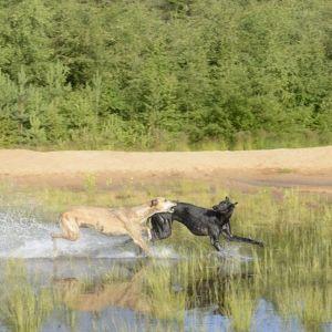 Koirat uivat hiekkamontuilla