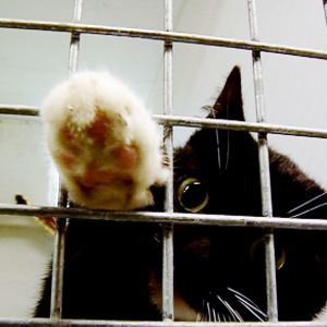 Musta kissa tunkee tassua häkin ritilän lävitse.