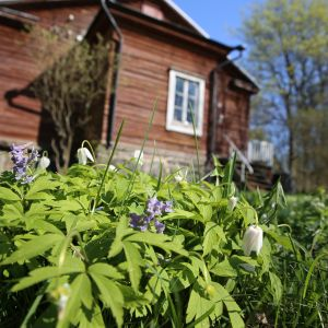 Vallisaaren keväistä kukkaloistoa.