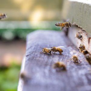 Mehiläisiä pesällä