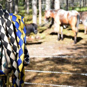 Hevosia metsälaitumella, etualalla puussa kiinni useita erivärisiä riimuja.