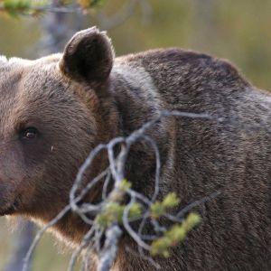 Karhun kasvot.
