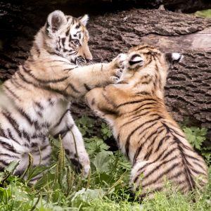 Tiikerinpennut leikkivät Korkeasaaressa.