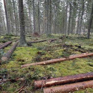 Suomalaista metsää ja kaadettuja puita.