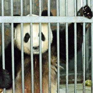 Aikuinen panda Chenun pandatarhan sisähäkissä.