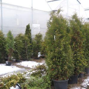 Tuijia rivissä talvella Honkasen puutarhalla.