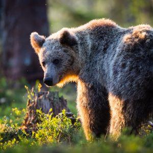 Karhu kerää rasvakerrosta ennen painumistaan talviunille.
