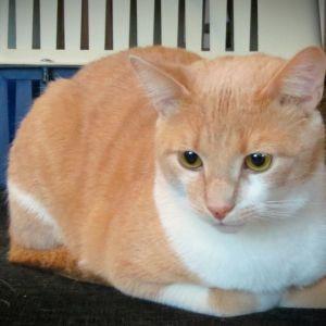 Eläinsuojelun hoivissa oleva kissa.