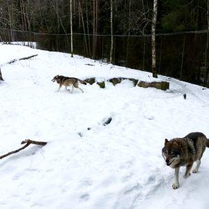 Susia Ähtärin eläinpuistossa.