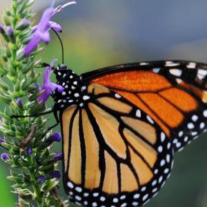 Oranssinmusta perhonen violetissa kukassa.