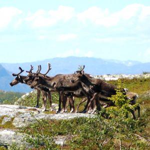 Luonnonvaraisia tunturipeuroja Norjassa