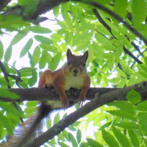 Orava lepää pihlajan oksalla.