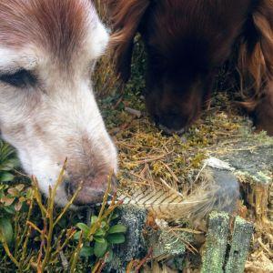 Koirat haistelemassa koppelon sulkaa.